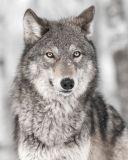 Mikroflanelová dětská deka Vlk
