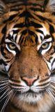 Osuška pro děti s motivem tygra Jerry Fabrics